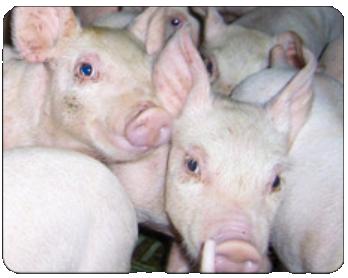 Livestock Production